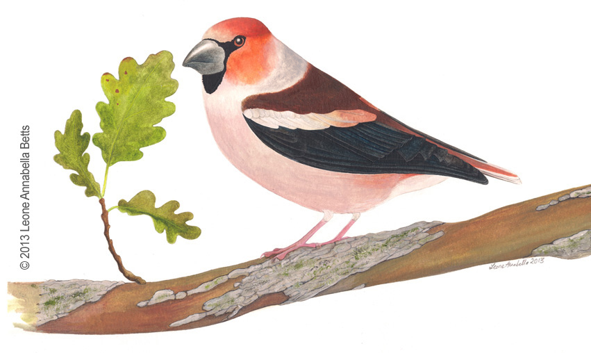 Ornithological Painting of a Hawfinch