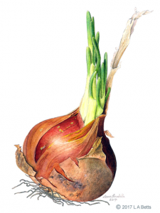 A painting in watercolour of a single brown onion by Leone Annabella