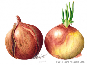 two onions in watercolour by Leone Annabella Betts