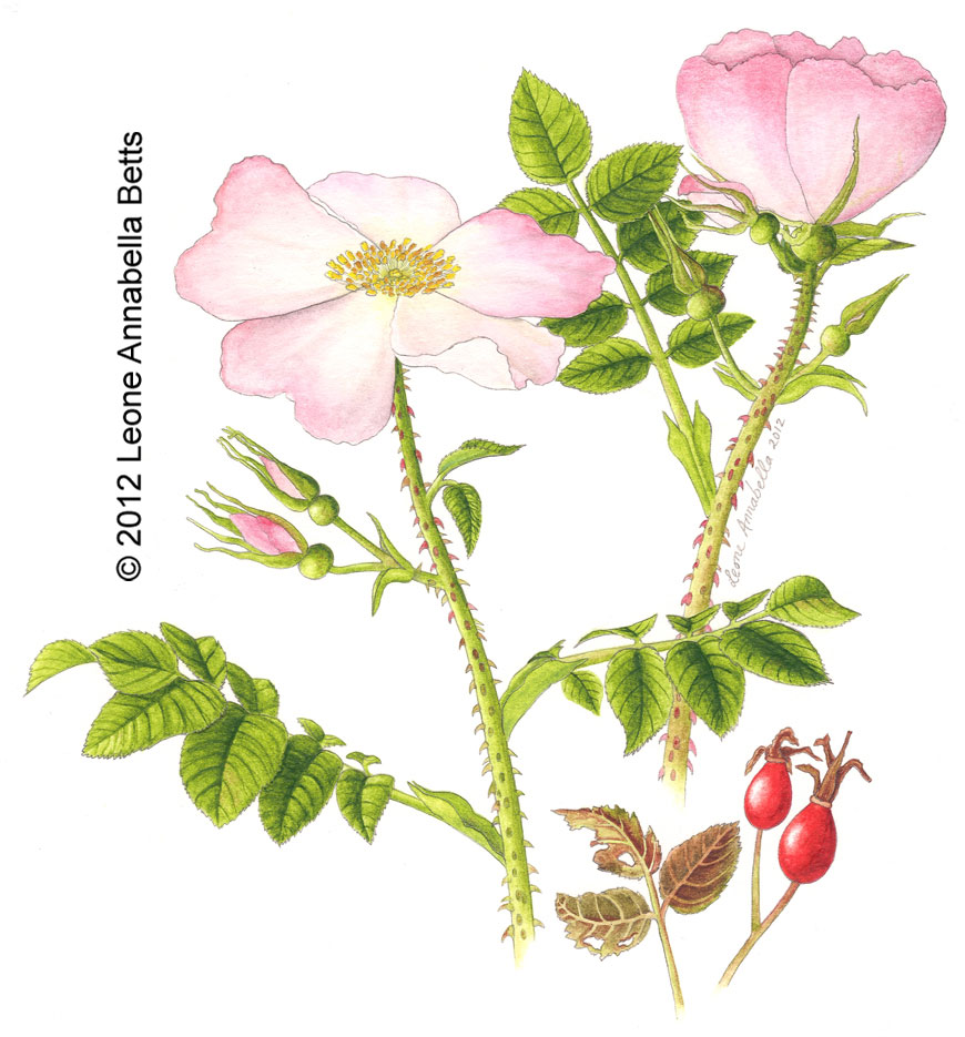 Botanical painting of a dog rose by Leone Annabella Betts