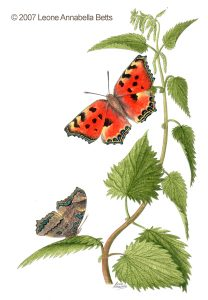 Botanical painting of Large Tortoiseshell butterfly on nettles