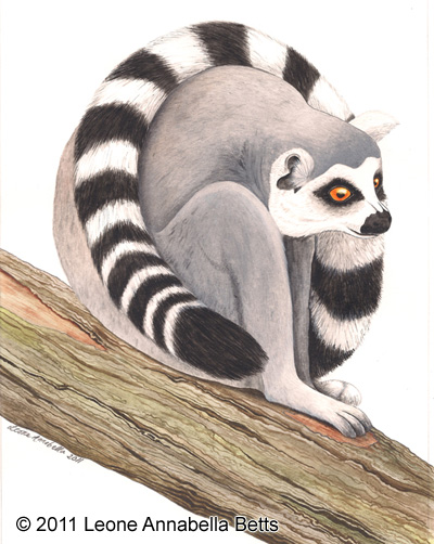 Ring-Tailed Lemur by Leone Annabella Betts