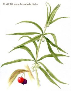 Botanical painting of Soloman's Seal